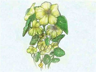 Yeti Nasturtium | Baker Creek Heirloom Seed Co