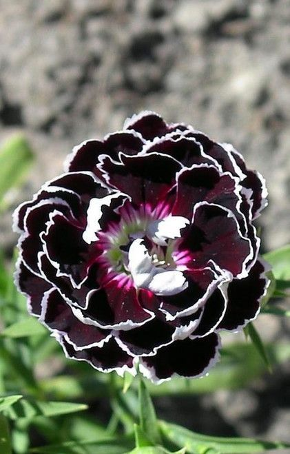 Photo of DIANTHUS: A wonderful plant found in many heirloom gardens, Dianthus have been a…