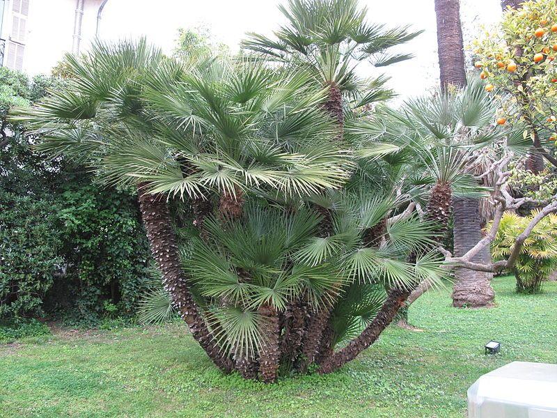 Chamaerops Humilis Aussi Appele Palme Europeen Ou Palme Nain De Mediterranee Est L Un Des Palmiers Les Plus Res Palmier Nain Jardin Massif Amenagement Jardin