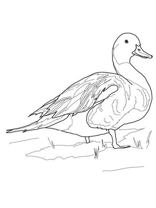 Mallard Duck Coloring Pages Animal Illustration Art Animal