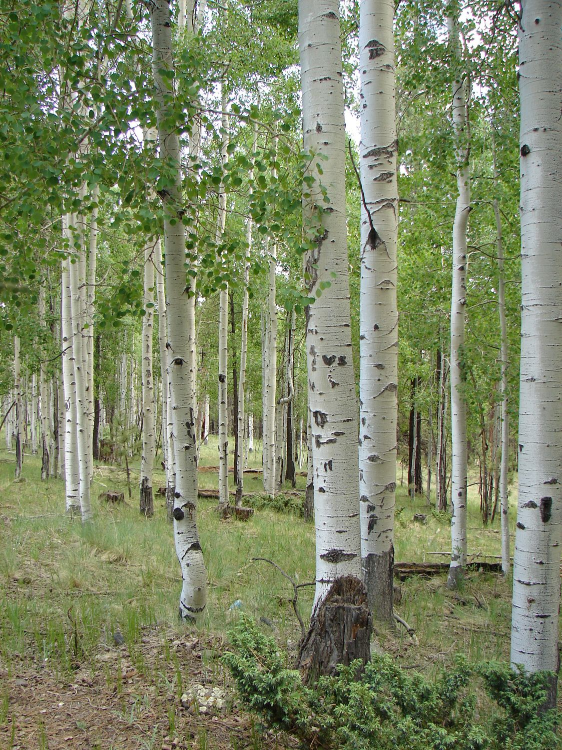 Quaking Aspen: Trees of the Mountain West | Aspen and Landscaping