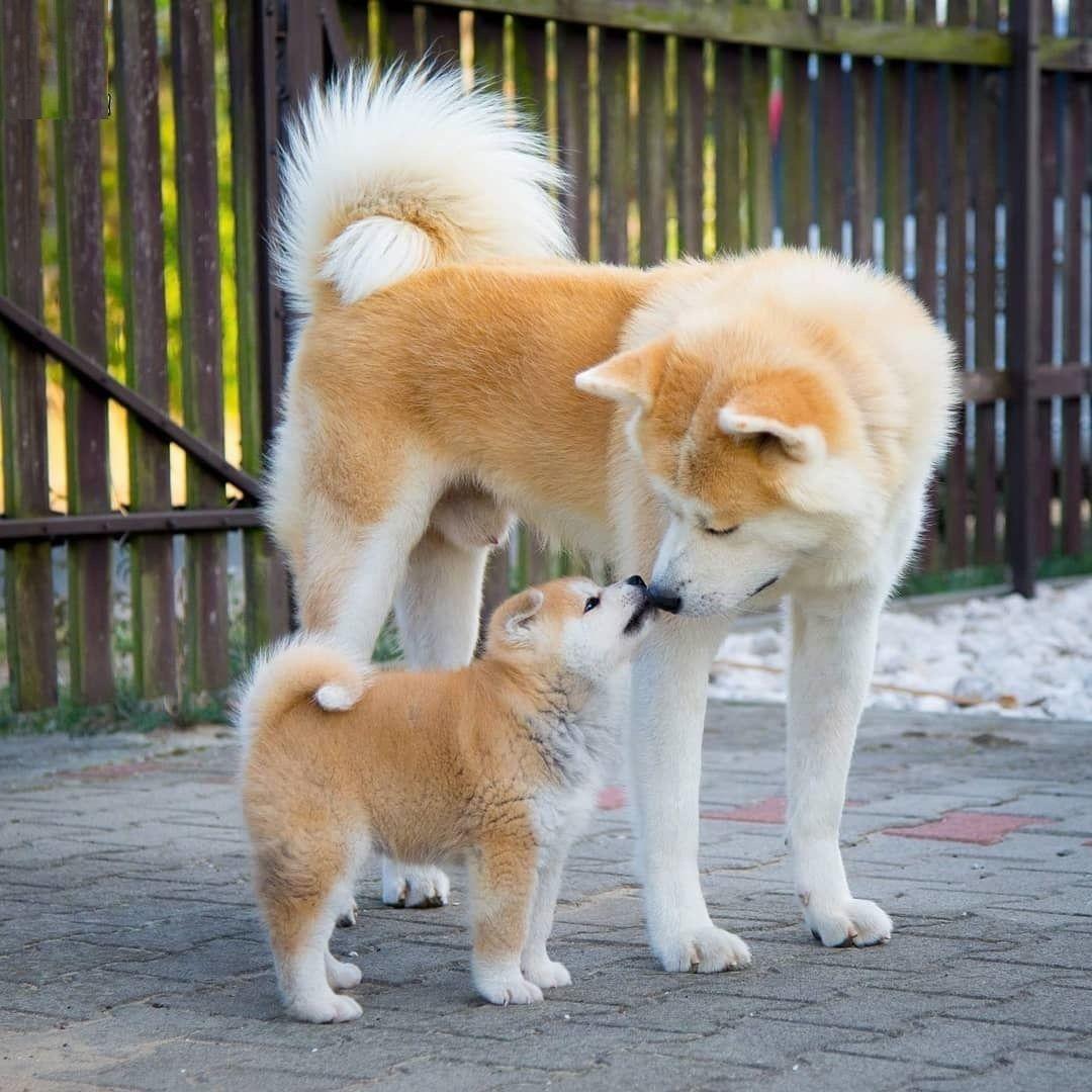 Japanese Akita In 2020 Akita Puppies Akita Dog Akita Inu Puppy