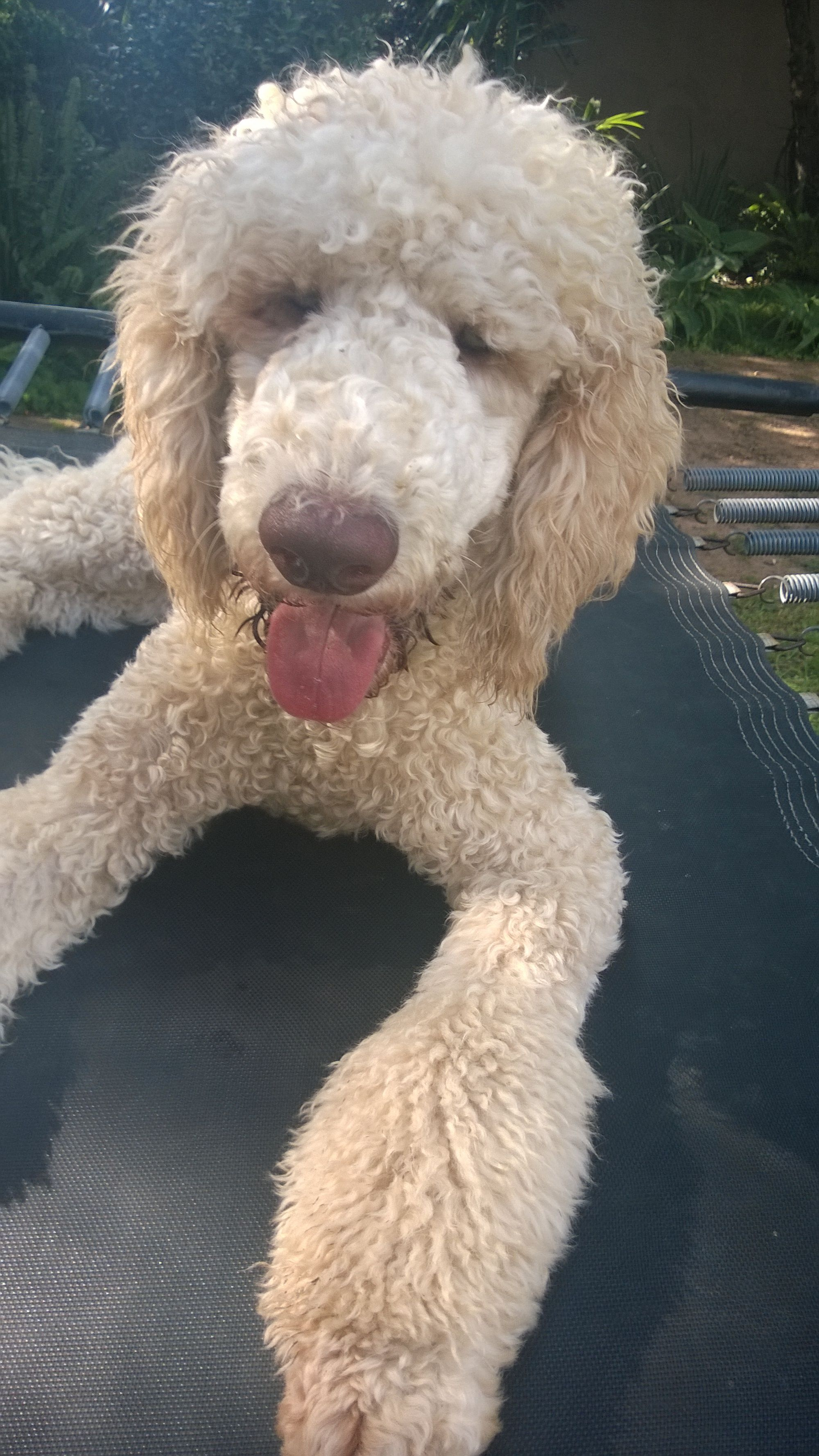 How Can U Not Love Face Poodle Face