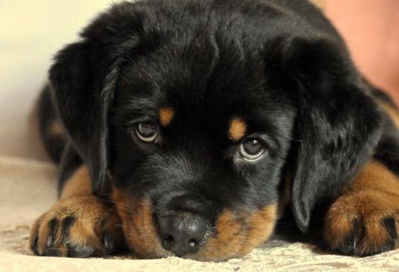 Puppy Eyes Puppies Rottweiler Puppies Rottweiler