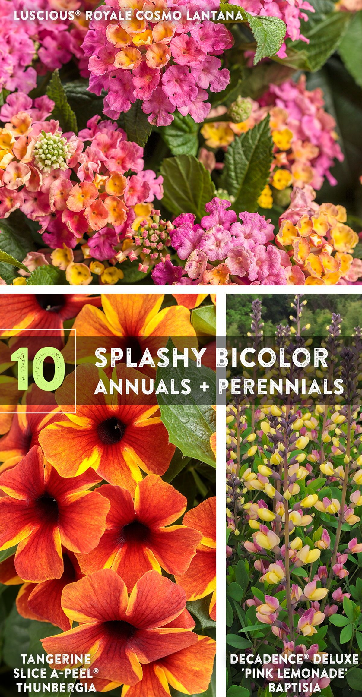 Bicolor Blooms Come In A Myriad Of Types And In Almost Every Color
