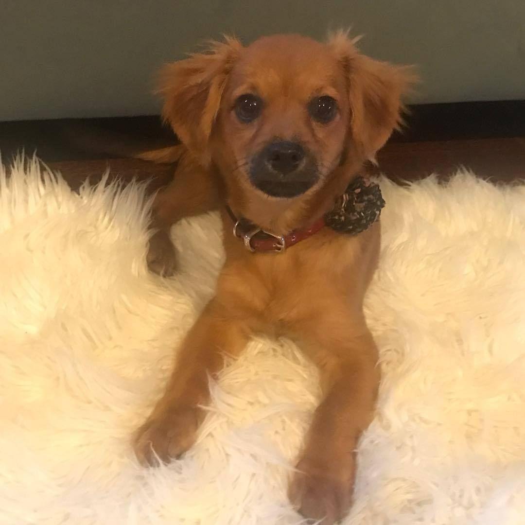 Adopt PretzelADOPT Me! on Adoption, Chihuahua mix