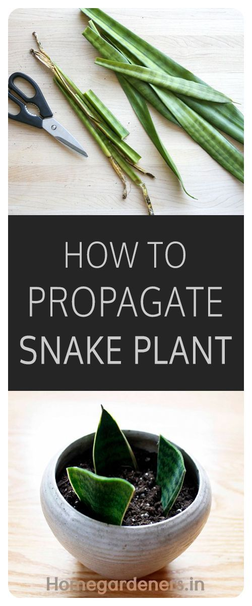 how to grow snake plant from cuttings