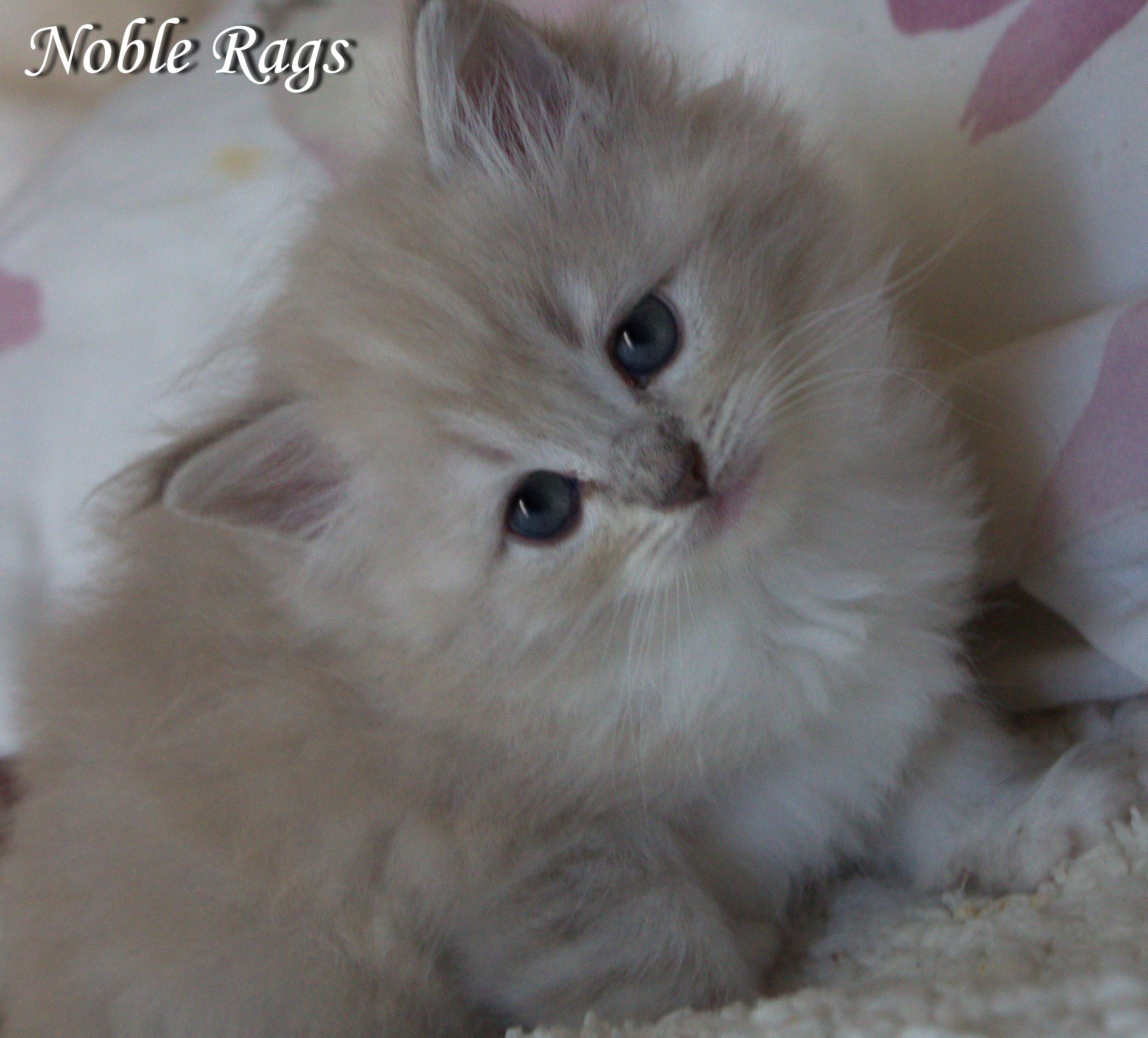 Chocolate Lynx Mink Ragdoll Kitten Beautiful Cats Cute Cats And Kittens Funny Animal Photos