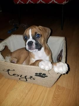 Boxer puppy for sale in HEBRON, IN. ADN57986 on