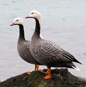 The emperor goose (Chen canagica) is a species of goose  It