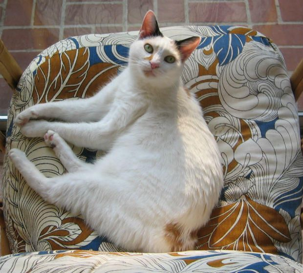 Amazing White And Black Cute Japanese Bobtail Cat Pics And