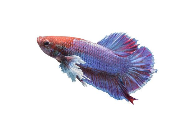 Download Betta Fish Isolated On White Background For Free Betta Fish Siamese Fighting Fish Betta