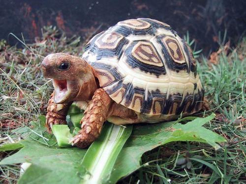 Leopard Tortoise Eating Turtle Turtles Tortoise Niedliche