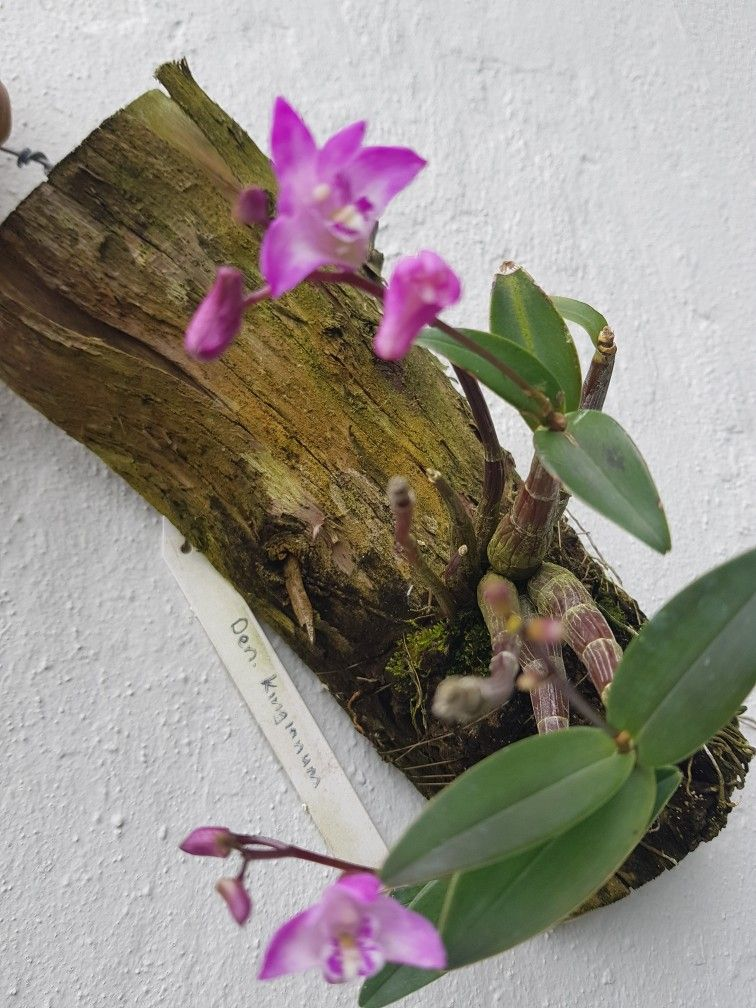 Dendrobium Kingianum Orquideas