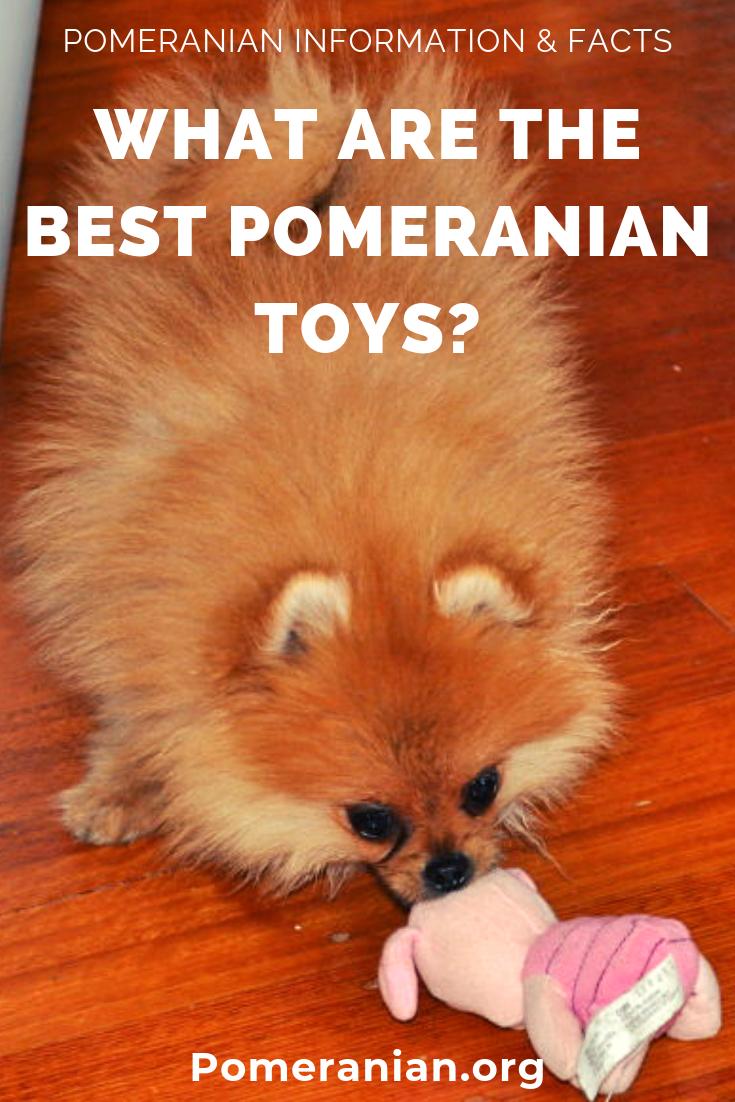 Pomeranians Toys Pomeranian Dochlaggie Pomeranian Dog Best Toys For Puppies Pomeranian Puppy