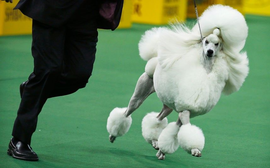 Pictures Of The Day 11 February 2014 Westminster Dog Show Dog Show Wire Fox Terrier