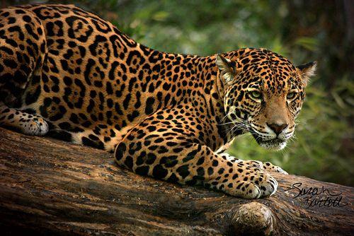 Felidae Pantherinae Panthera Panthera Onca Jaguar