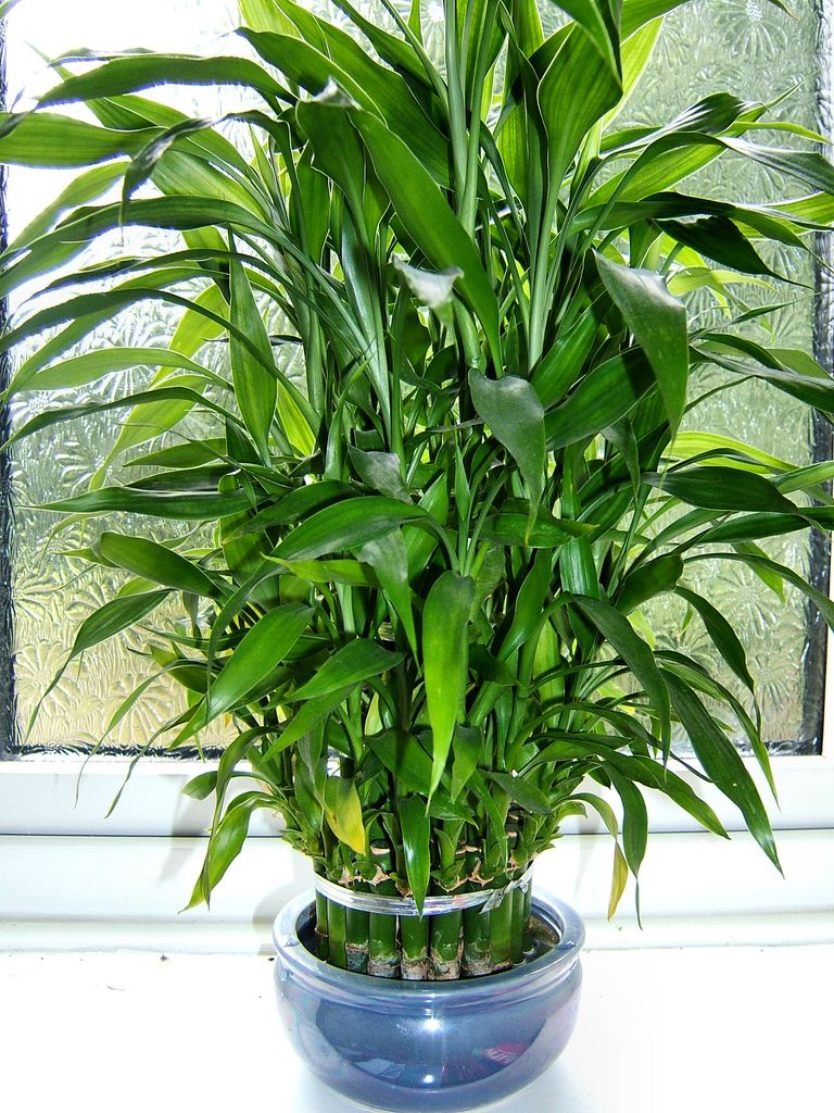 What do the colors of ribbon symbolize on lucky bamboo ehow - Dracaena Sanderiana Aka Ribbon Dracaena Lucky Bamboo Or Ribbon Plant