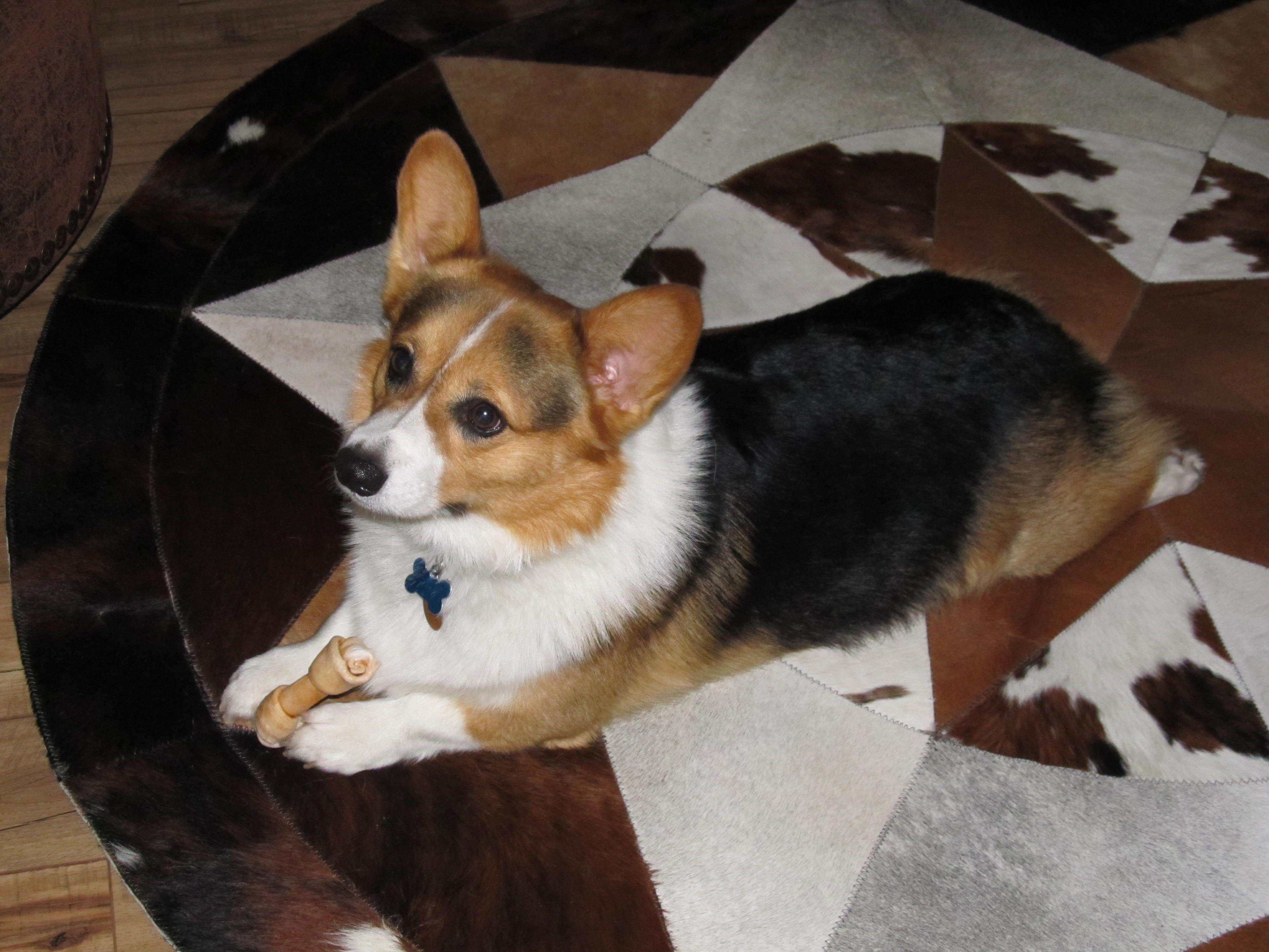 You Talking To Me Corgi Dog Corgi Furry Friend