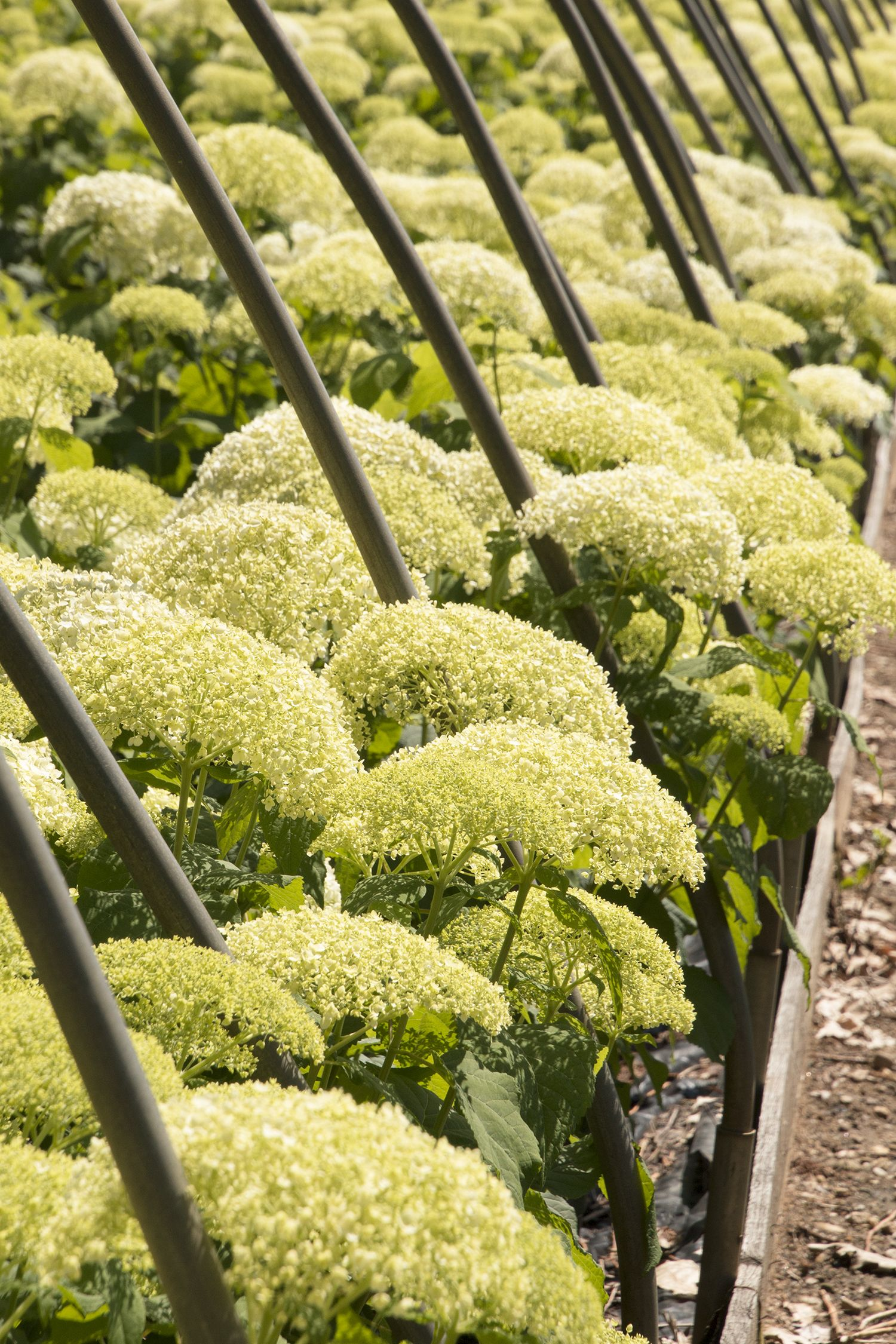 ff1d3d1bd6e39 This new, compact variety of the famed Annabelle hydrangea is perfect for  smaller spaces. Masses of big white flower heads put on a spectacular show  ...