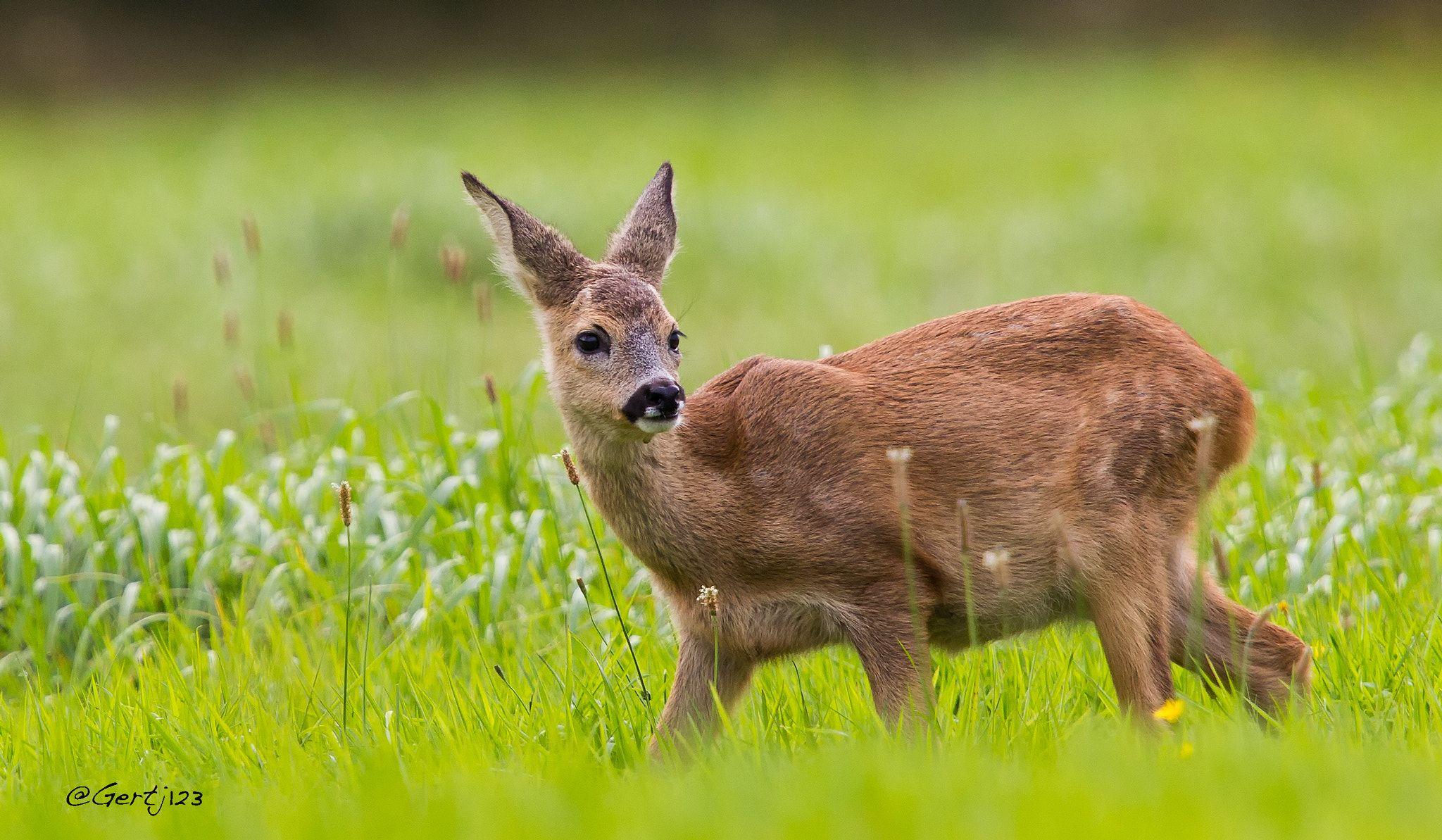 Roe Deer (juvenile) Plenty of Roe Deer in our