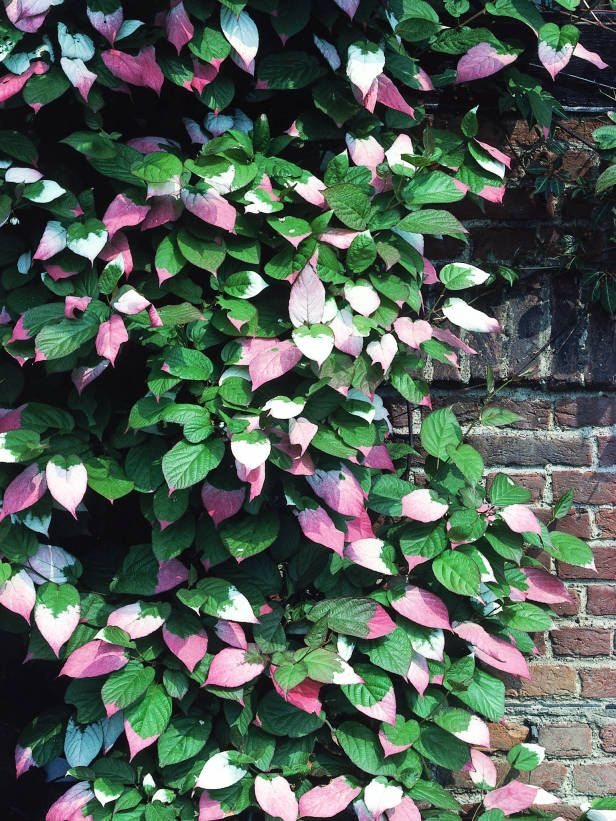 Actinidia kolomikta climber for sun garden pinterest climbers slightly fragrant greenish white flowers in early summer the most striking feature of this vine is its heart shaped foliage those lovely leaves are mightylinksfo