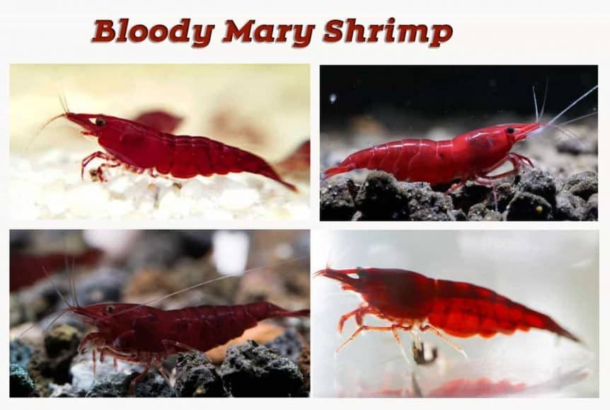 Red Cherry Shrimp Grading With Pictures Shrimp And Snail Breeder Red Cherry Shrimp Cherry Shrimp Red