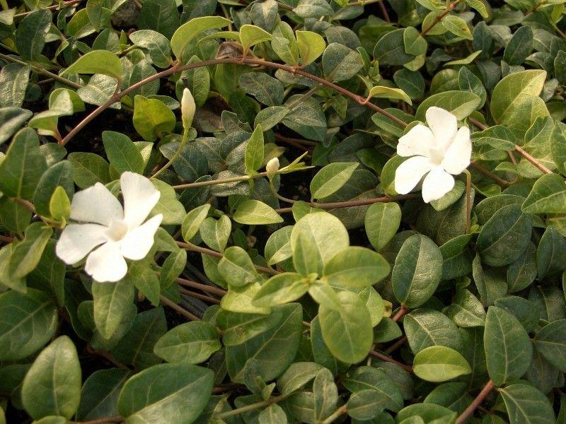 Kleines Immergrün weiß (Vinca minor alba) | Garten | Pinterest ...