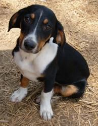 Louey Pup Is An Adoptable Dachshund Dog In Salem Nh Louey Is A 5