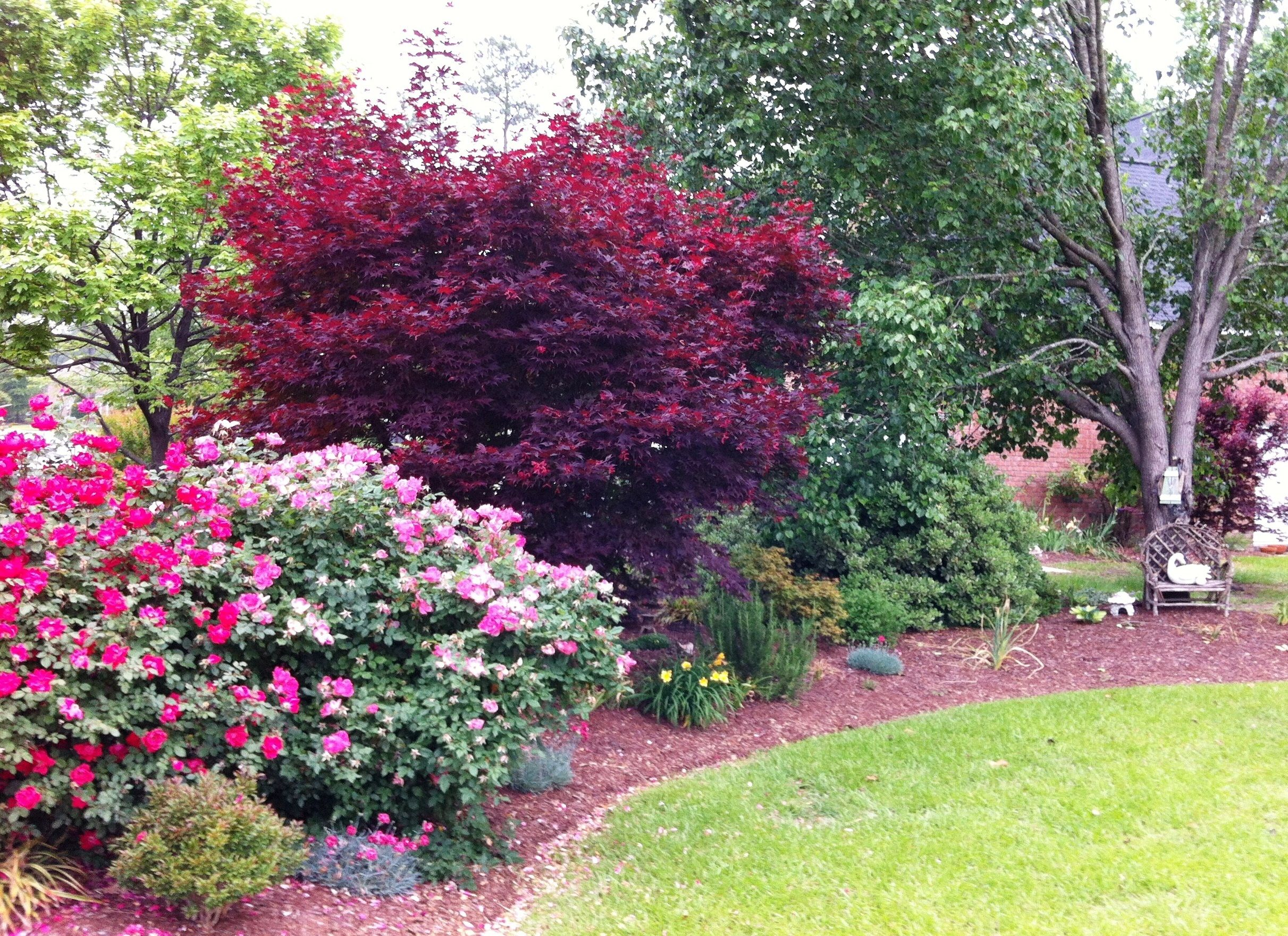 Left front island -- lots of Knockout roses in bloom and a red Japanese  maple