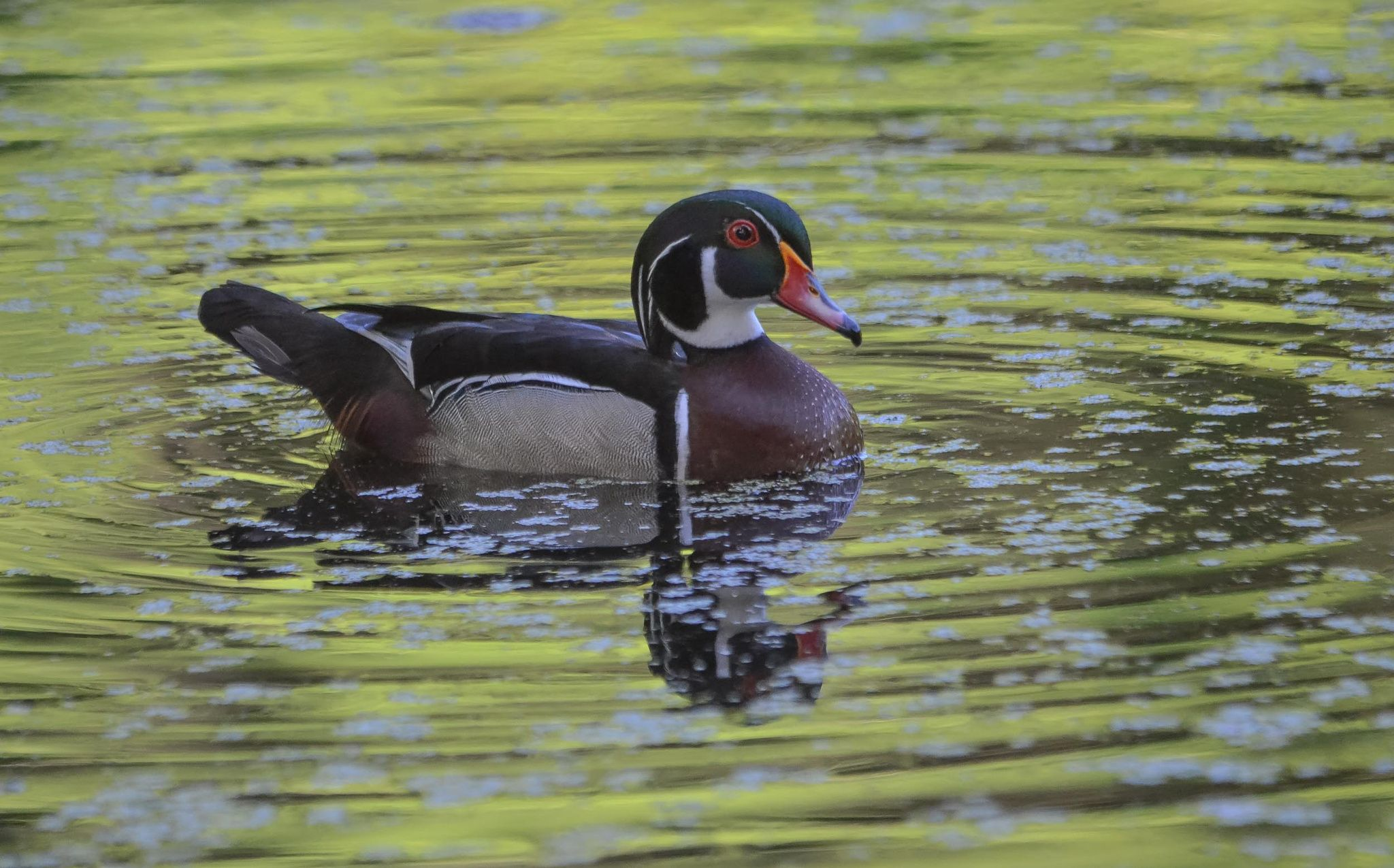 Wood Duck Colors by Karen King on 500px