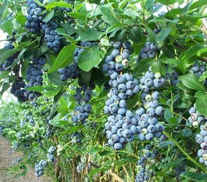 We need some blueberries bushes too.
