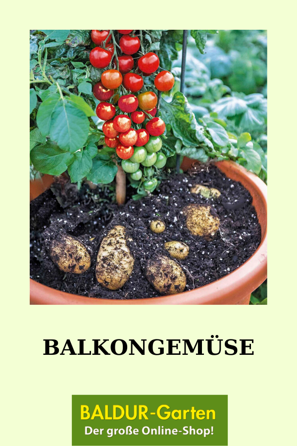Balkongemuse In 2020 Gemuse Pflanzen Kartoffeln Pflanzen Pflanzen