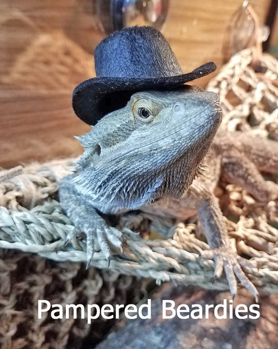 6b97fab29e8 TOP HATS for your Bearded Dragon