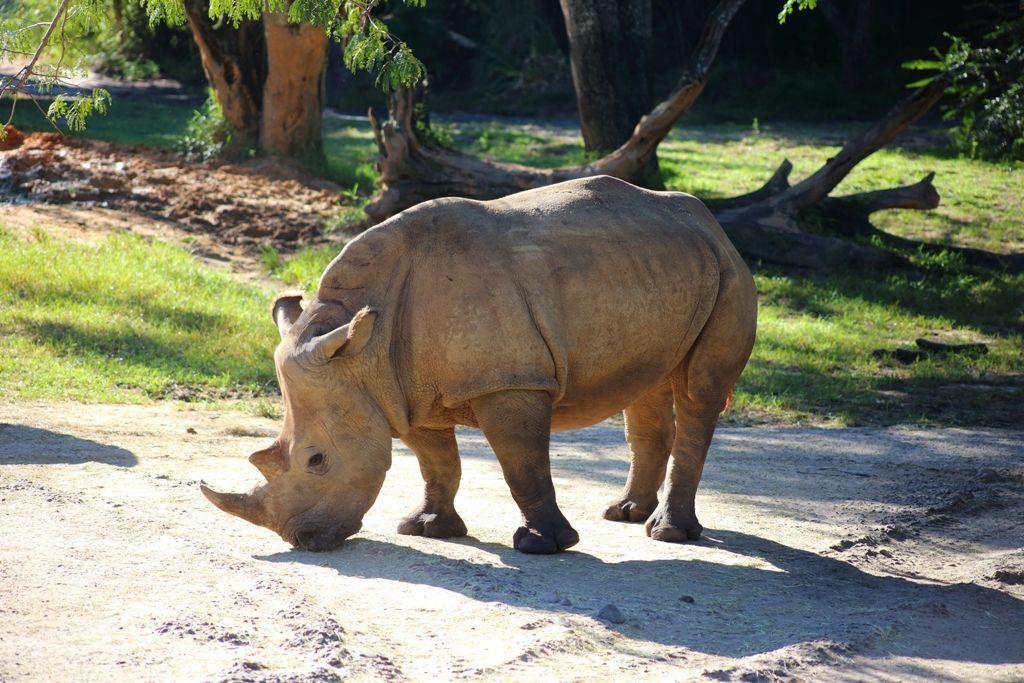 White Rhino at Animal Kingdom