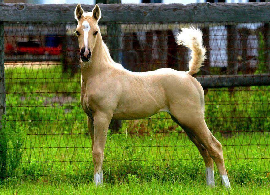 palomino foal - photo #5