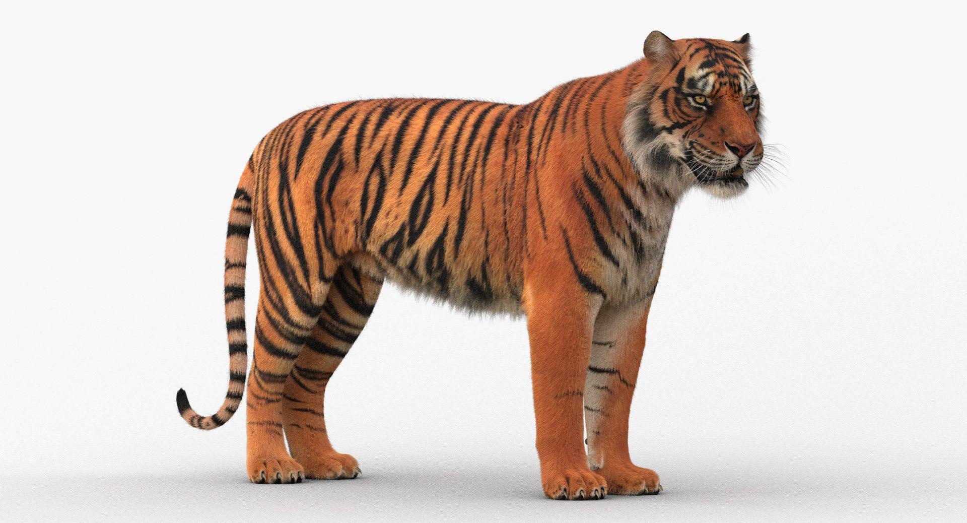 3D Model Tiger Rigged 3d model, Tiger fur, Tiger