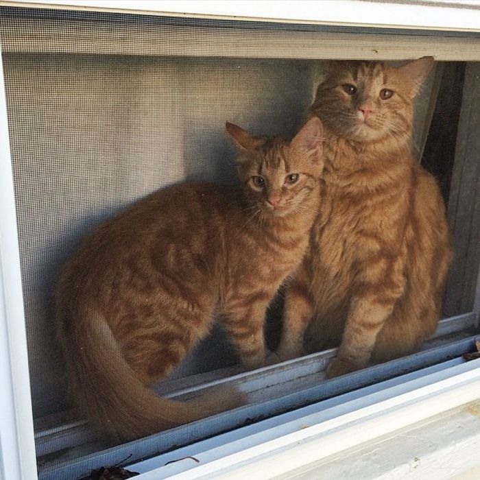 Cat Finds His Mini Me Decides To Adopt Him And Raise As His Own Ginger Cats Cats Cats And Kittens