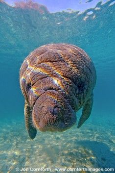 Manatee - West Indian