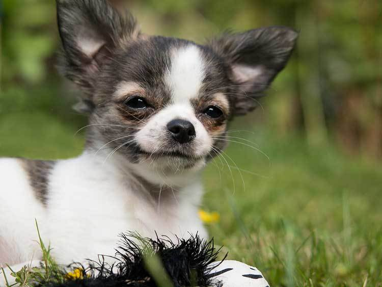 11 Facts About The Chiweenie Chihuahua Dachshund Mix Pet Aware
