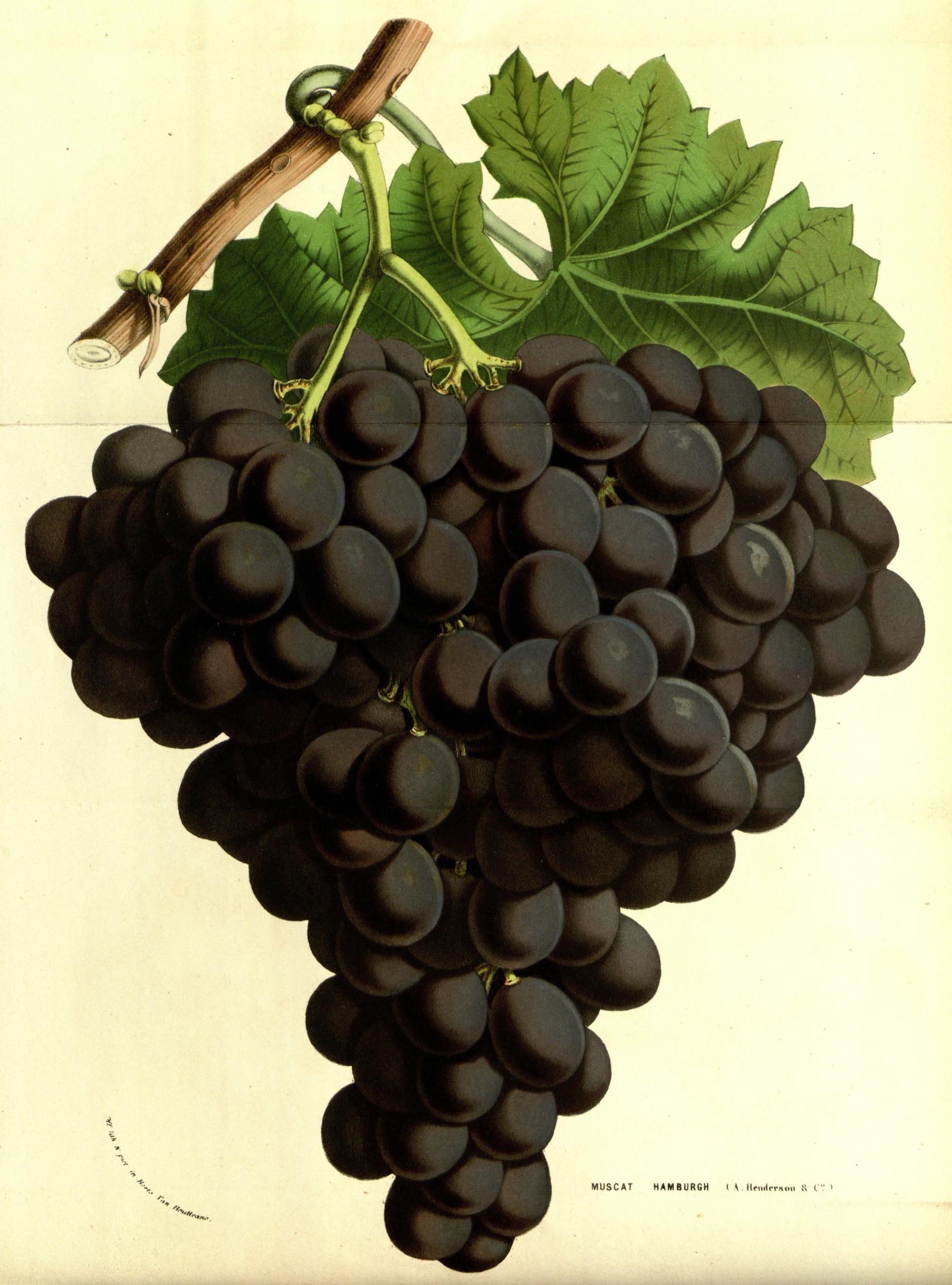 Muscat Hambourg - v.13 (1858) - Flore des serres et des jardins de l'Europe - Biodiversity Heritage Library