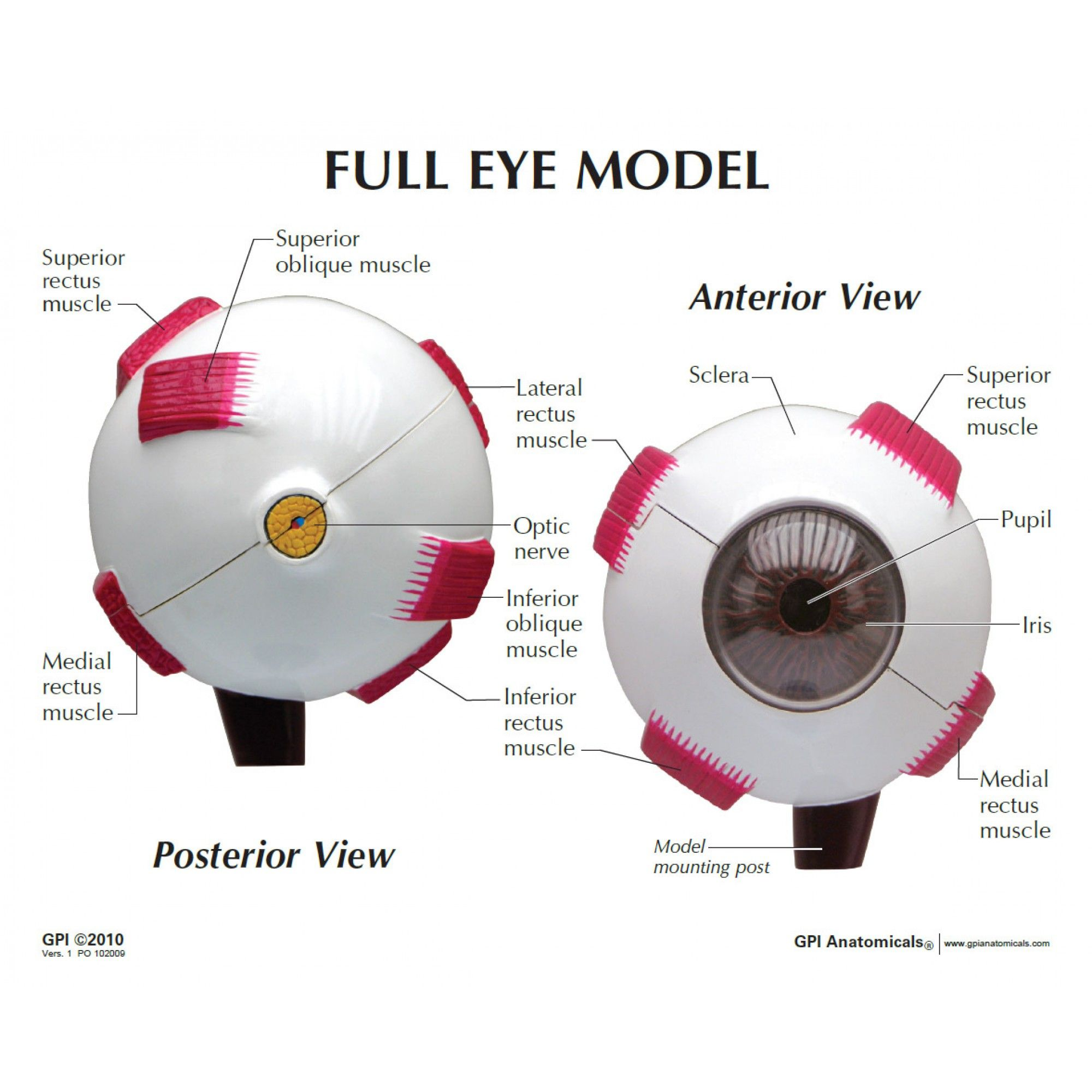 Eye Model - Labeled | Anatomy, physiology, Eye anatomy ...
