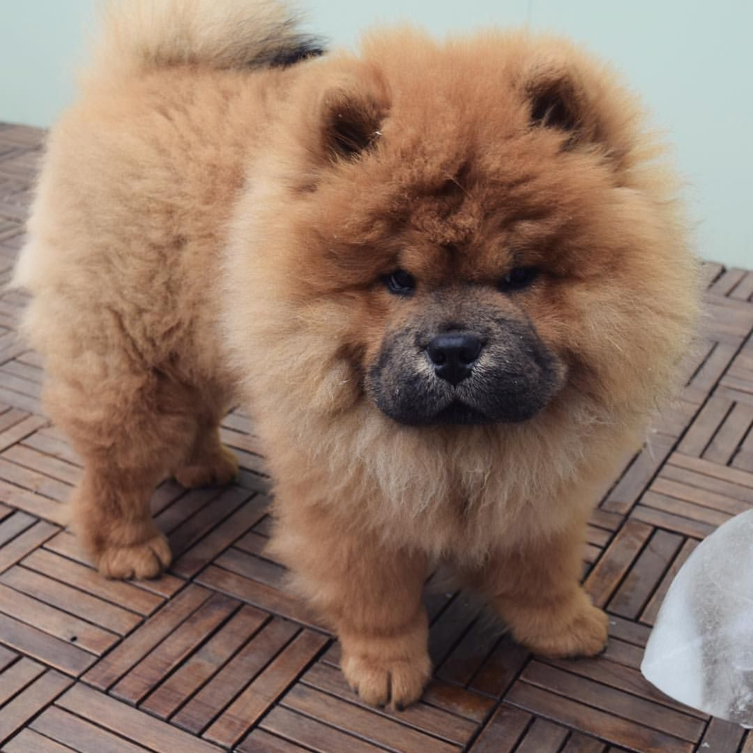 Chow Chow Perros Chow Chow Perros Cachorros Perros