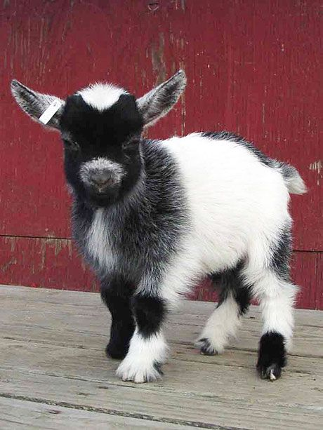 Goat- Reminds me of Mimi, the lil guy we took care of for a week or two! :) Fun memories!