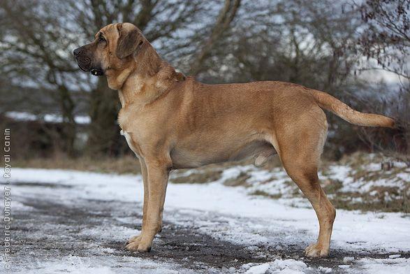 Broholmer, Danish Mastiff Entlebucher, Hovawart, Hunde