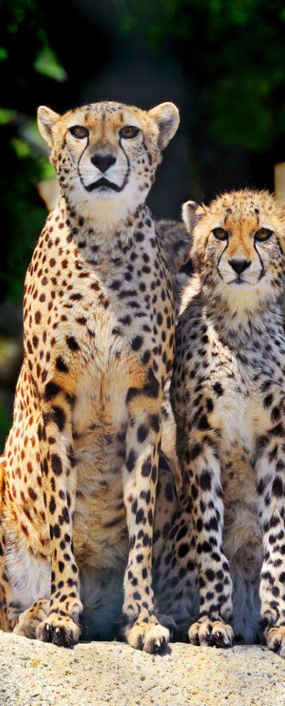 Mother cheetah and cub