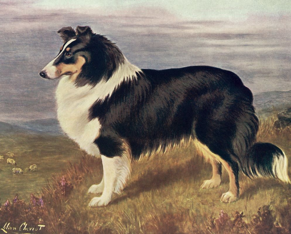 A Rough Collie by Lilian Cheviot