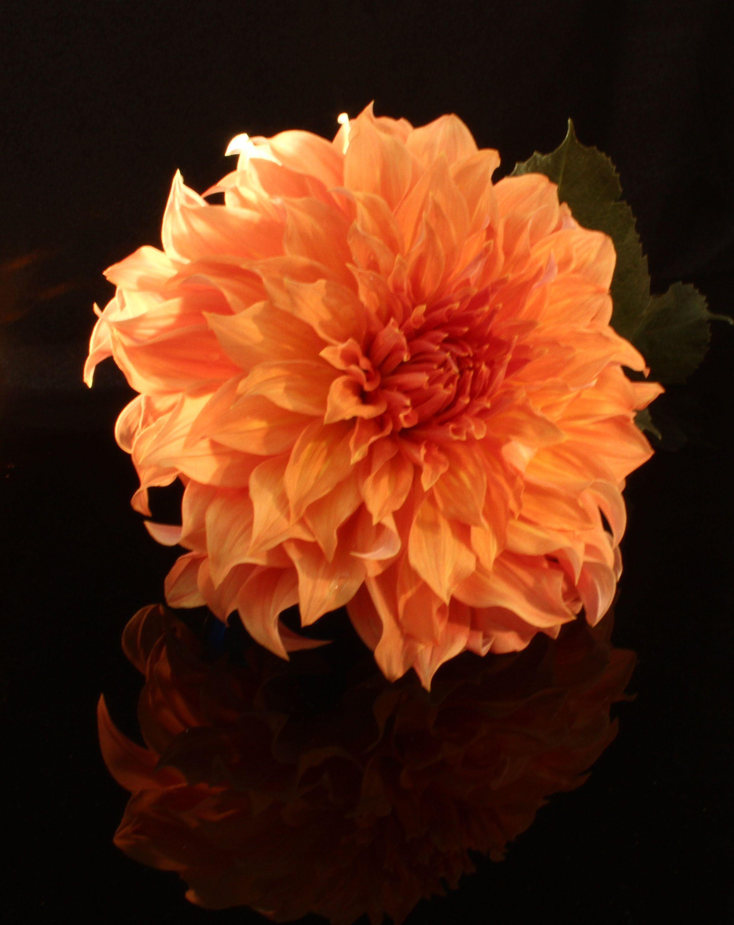 Orange Dahlia From My Garden Dahlias Pinterest Dahlia And Gardens