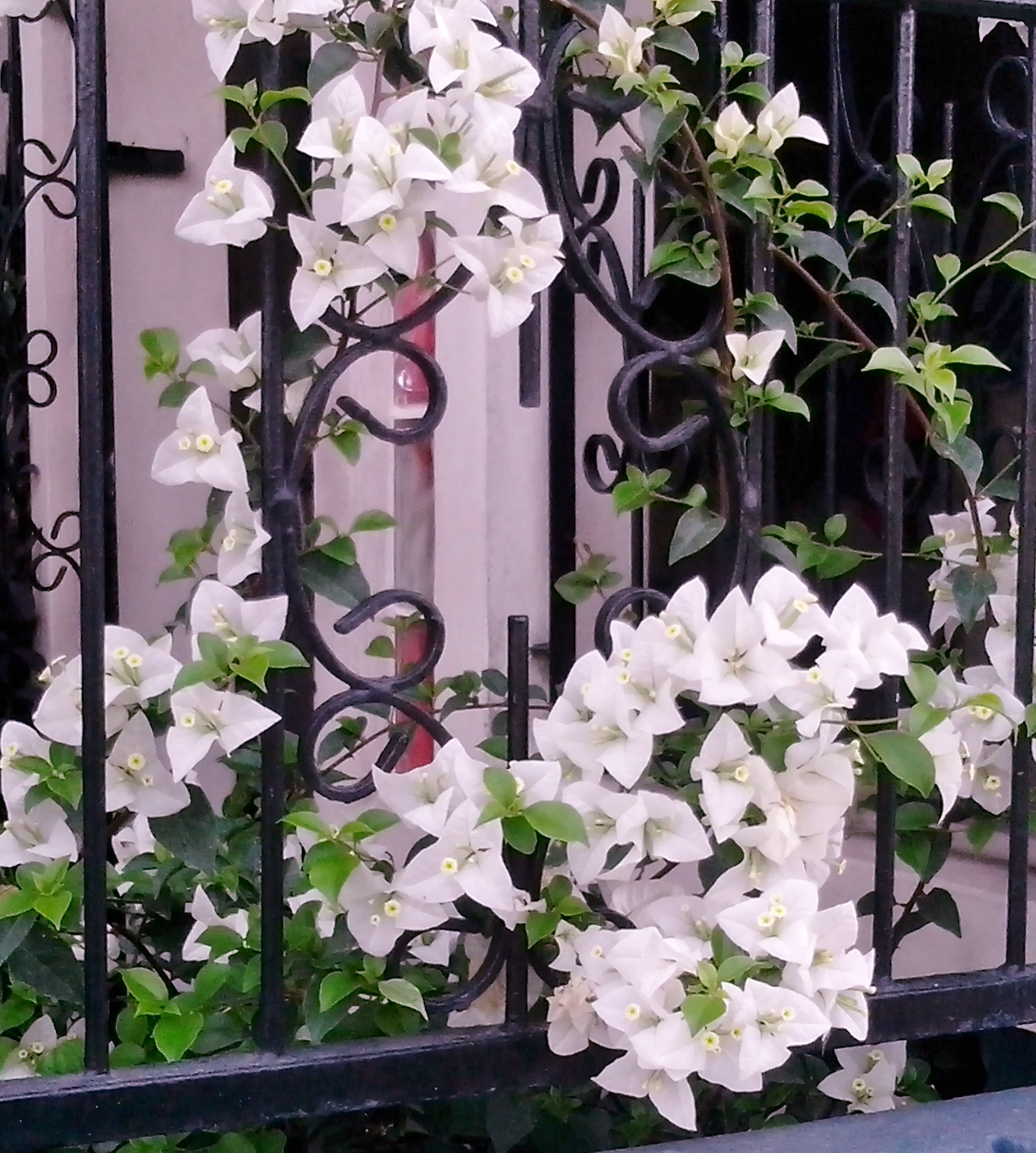White Bougainvillearough A Neighbors Fencee Gave Me