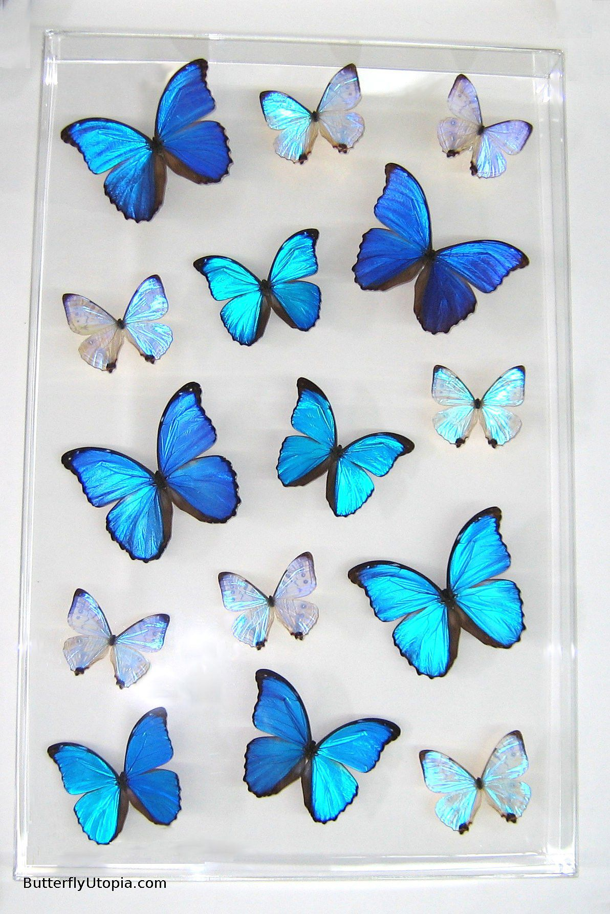 Blue Pearls Supreme butterfly framed art, pictures, display ...